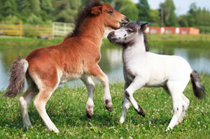Two mini horses Falabella playing on meadow, selective focus